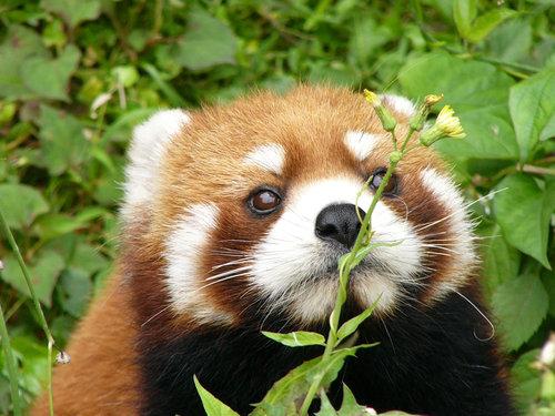 花とレッサーパンダ